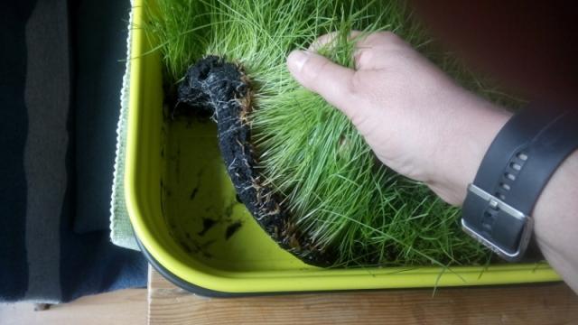 Saatschale mit Grasteppich