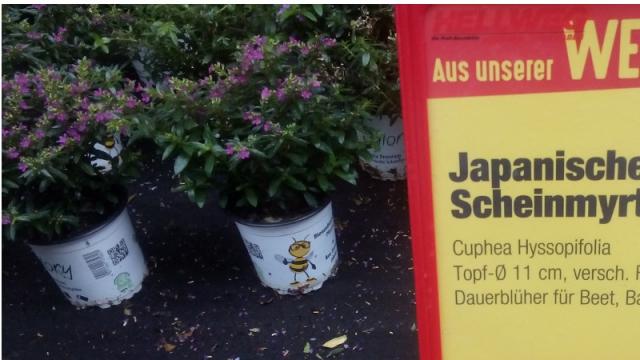 Japanische Scheinmyrthe, eine dauerblühende Bienenpflanze